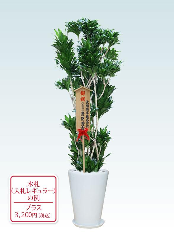 ドラセナコンパクター(陶器鉢植込み、ラウンドタイプ白色) Lサイズ10