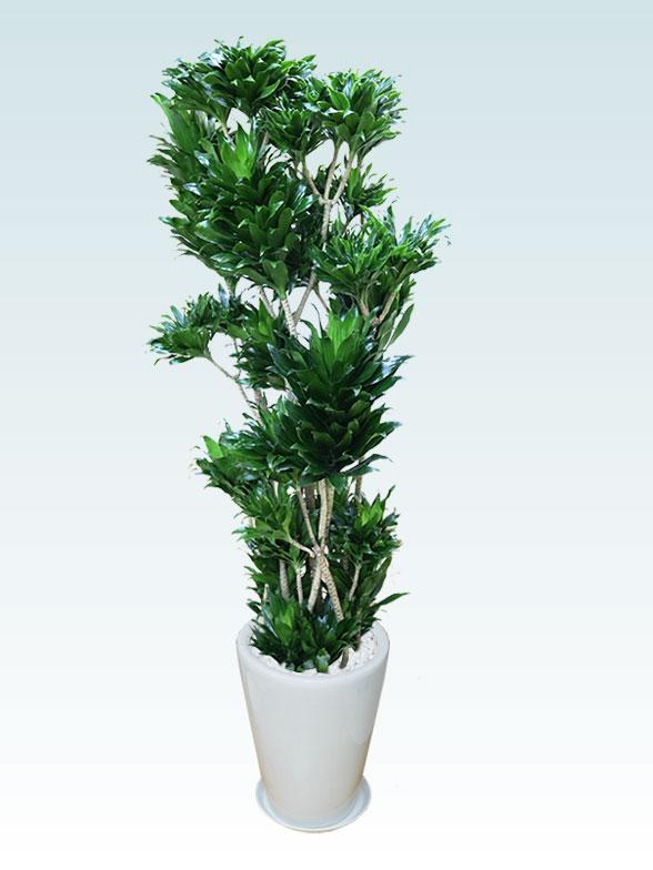 ドラセナコンパクター(陶器鉢植込み、ラウンドタイプ白色) Lサイズ15