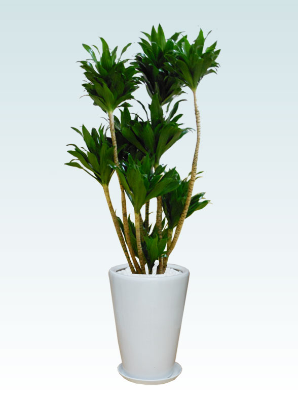 ドラセナコンパクター(陶器鉢植込み、ラウンドタイプ白色)1