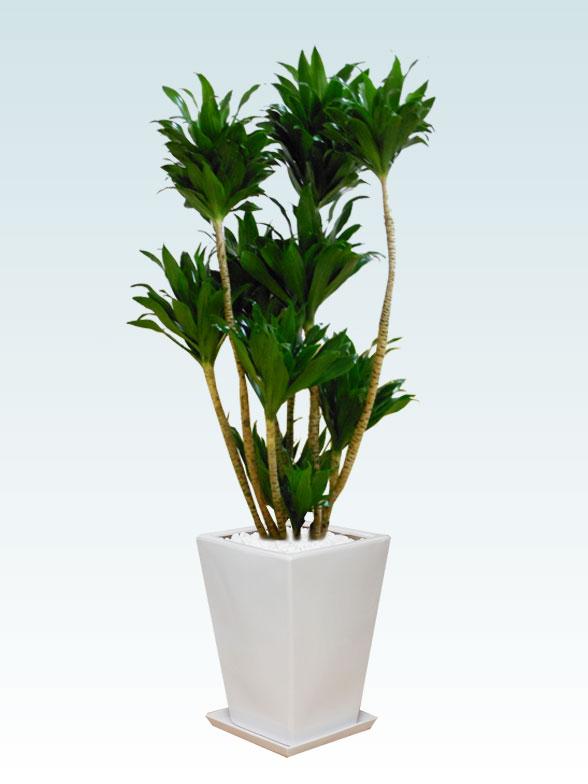 ドラセナコンパクター(陶器鉢植込み、スクエアタイプ白色)1