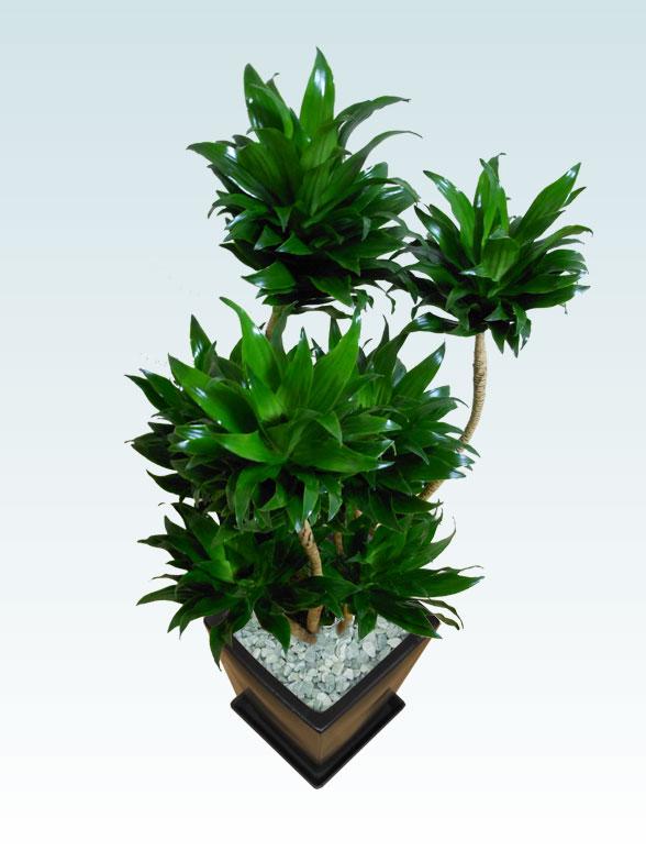 ドラセナコンパクター(陶器鉢植込み、スクエアタイプ黒色)3