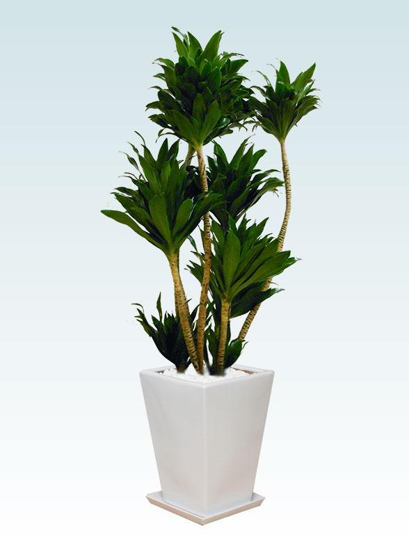 ドラセナコンパクター(陶器鉢植込み、スクエアタイプ白色)7