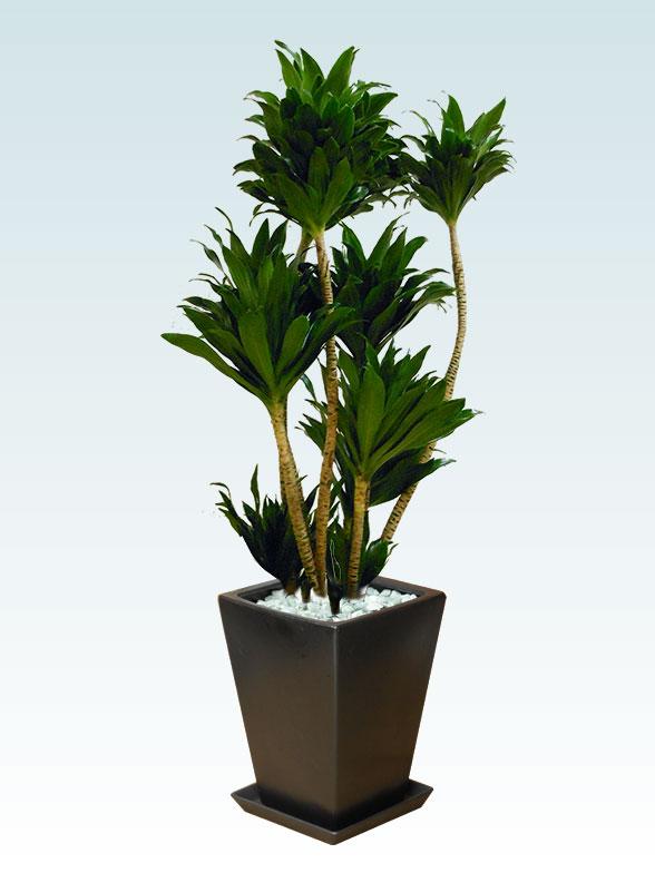 ドラセナコンパクター(陶器鉢植込み、スクエアタイプ黒色)7