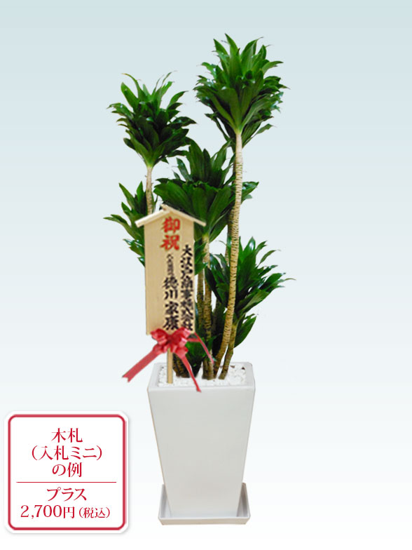 ドラセナコンパクター(陶器鉢植込み、スクエアタイプ白色)10