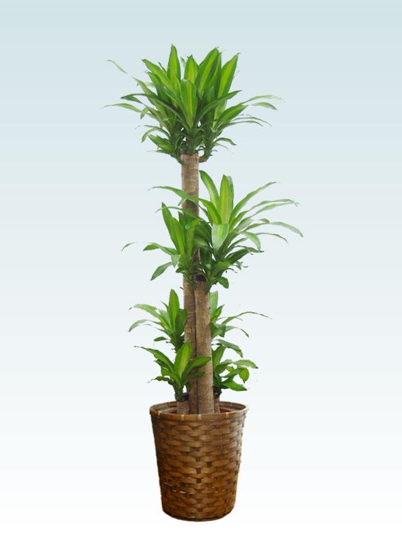 幸福の木(籐かご付、ダークブラウン色) Lサイズ 1