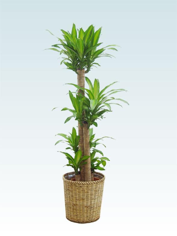 幸福の木(籐かご付、ライトブラウン色) Lサイズ 1