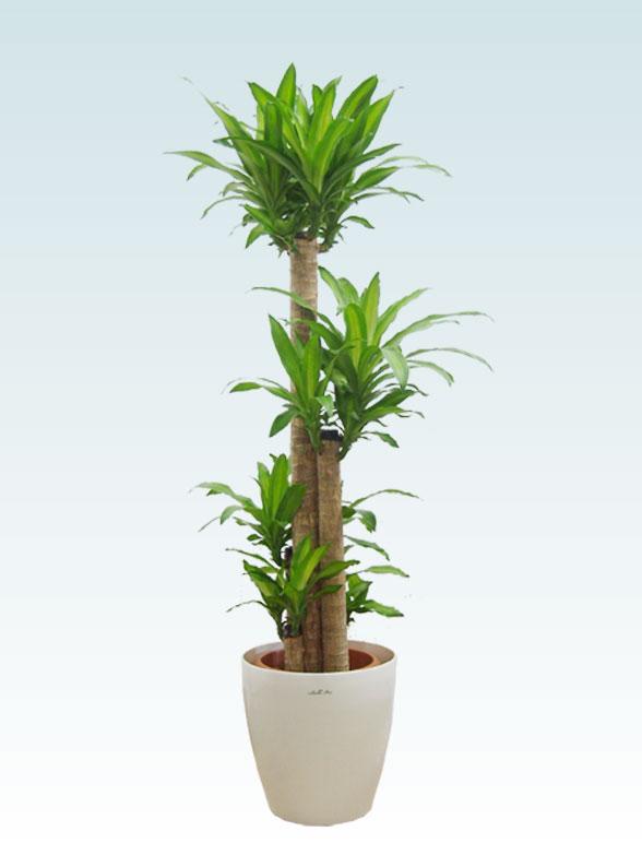 幸福の木(ラスターポット付) Lサイズ 1