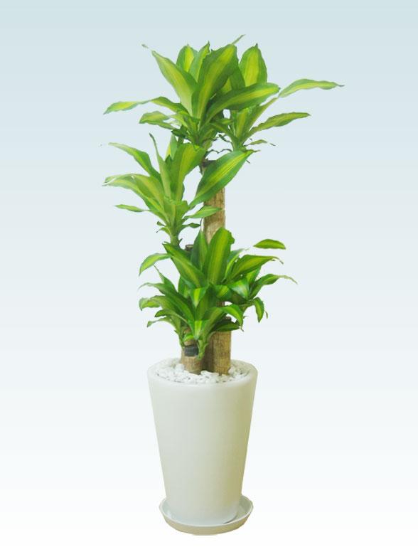 幸福の木(陶器鉢植込み、ラウンドタイプ白色) 1