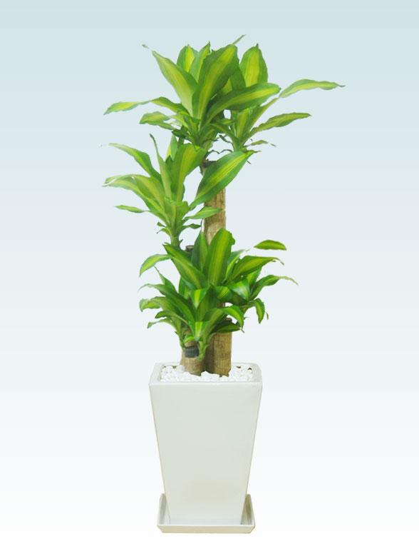 幸福の木、陶器鉢植込み、スクエアタイプ白色 1