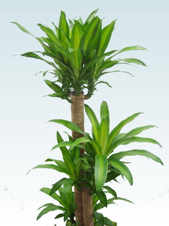 幸福の木(籐かご付、ダークブラウン色) Lサイズ 2