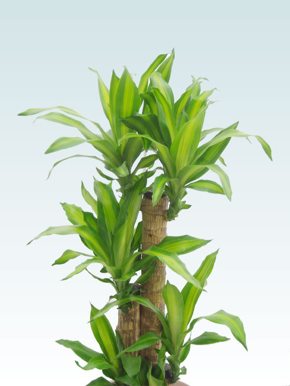 幸福の木(籐かご付、ダークブラウン色) Mサイズ 2