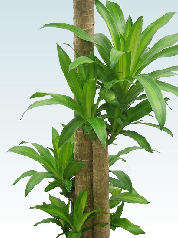 幸福の木(籐かご付、ダークブラウン色) Lサイズ 3