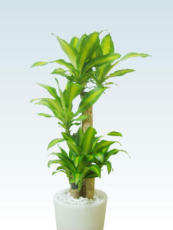 幸福の木(陶器鉢植込み、ラウンドタイプ白色) 6