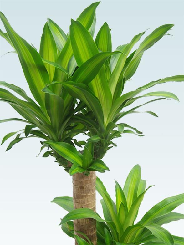 幸福の木(籐かご付、ダークブラウン色) Lサイズ 7