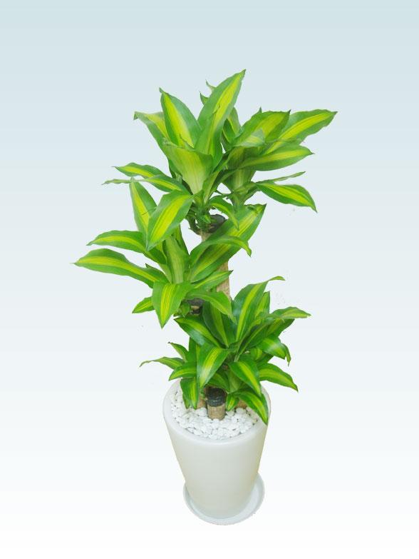 幸福の木(陶器鉢植込み、ラウンドタイプ白色) 7