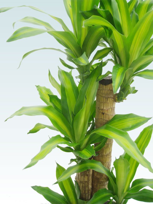 幸福の木(籐かご付、ダークブラウン色) Mサイズ 8