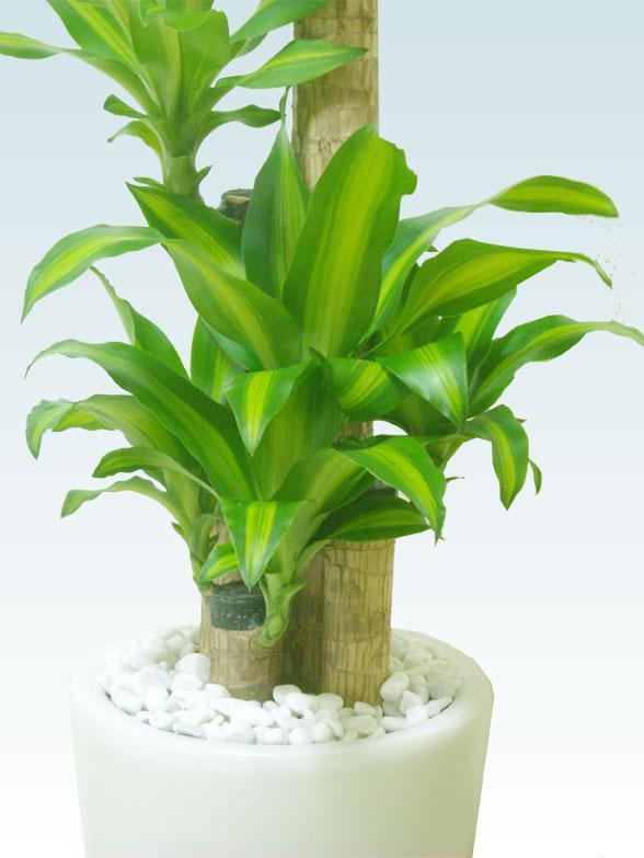 幸福の木(陶器鉢植込み、ラウンドタイプ白色) 8