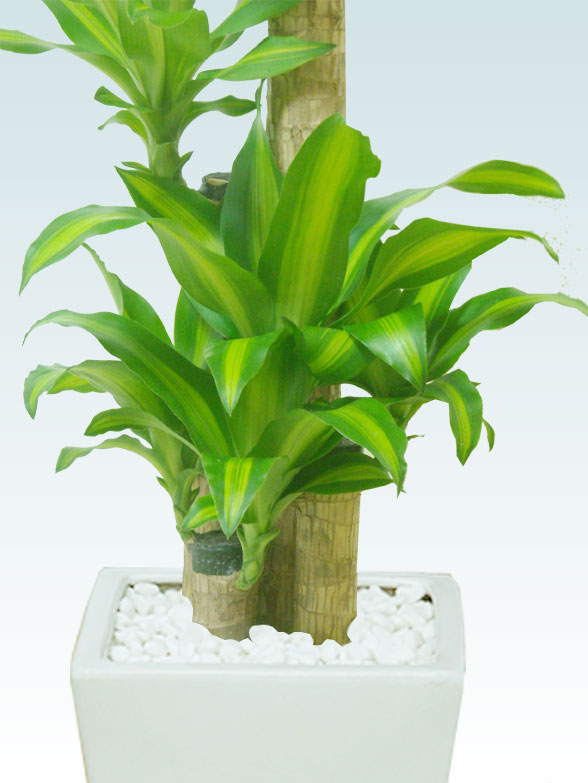 幸福の木、陶器鉢植込み、スクエアタイプ白色 8
