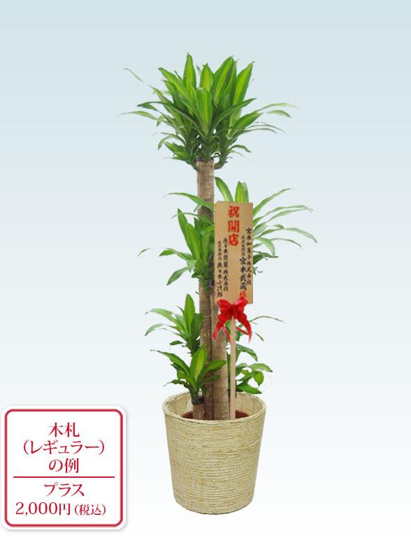 幸福の木 コーンホワイト9