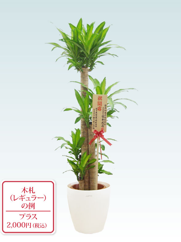 幸福の木(ラスターポット付) Lサイズ 9