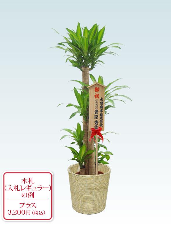 幸福の木 コーンホワイト10