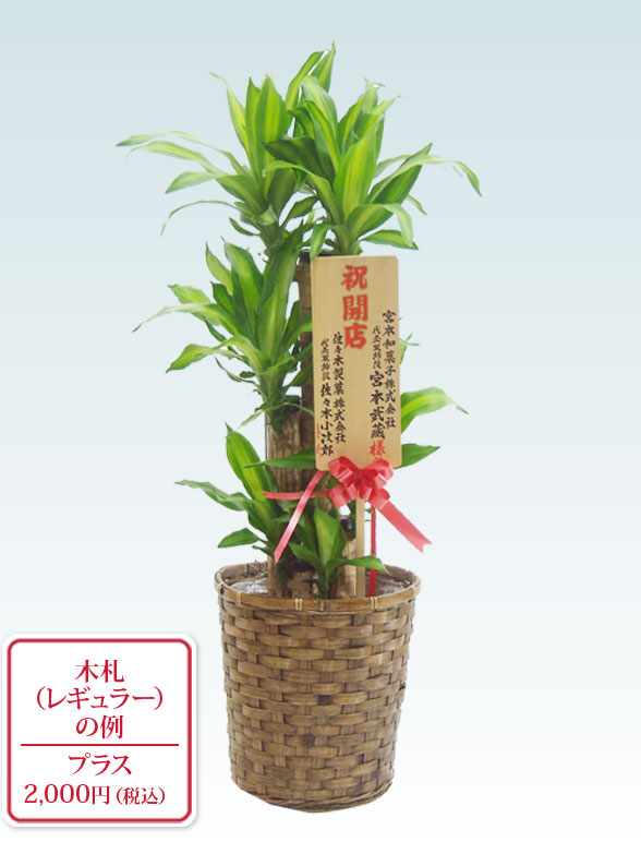 幸福の木(籐かご付、ダークブラウン色) Mサイズ 10