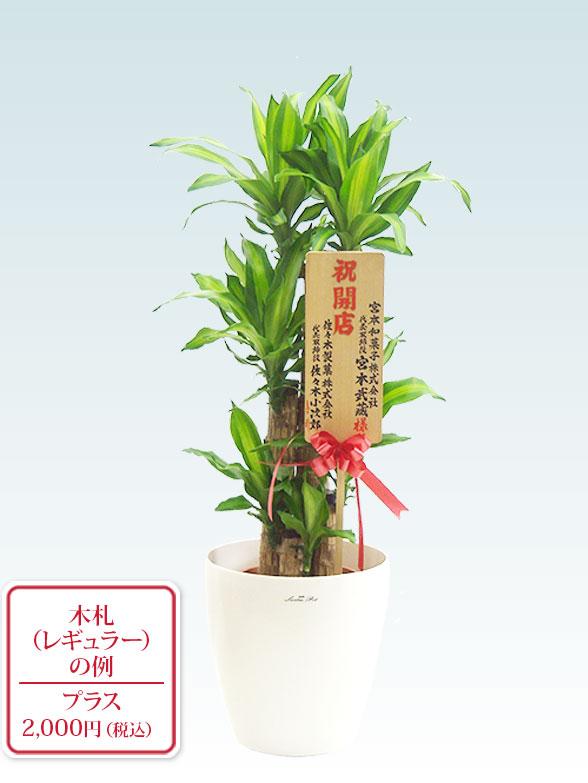 幸福の木(ラスターポット付) Mサイズ 10