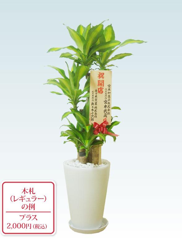 幸福の木(陶器鉢植込み、ラウンドタイプ白色) 10