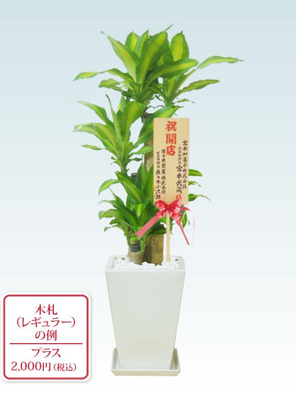幸福の木、陶器鉢植込み、スクエアタイプ白色  11