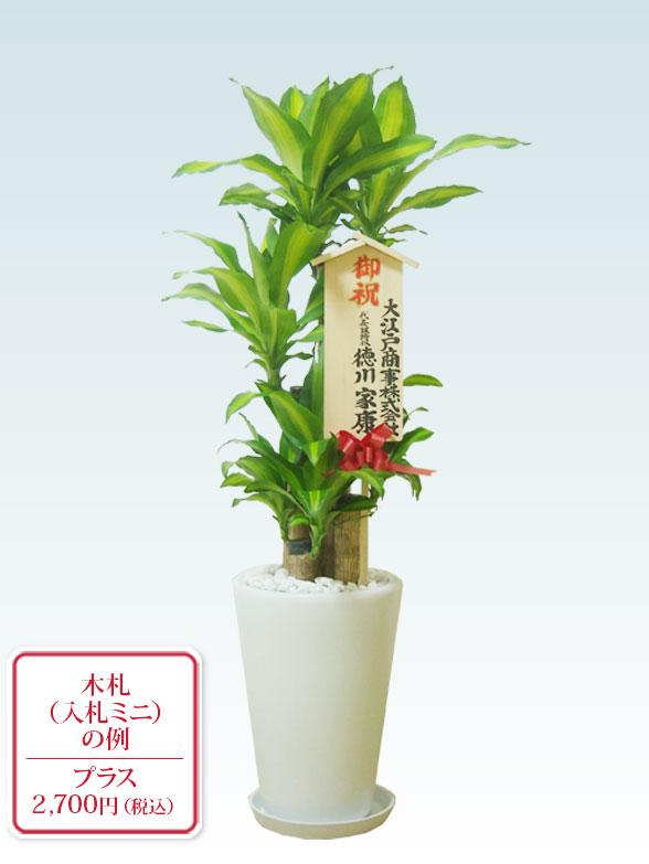 幸福の木(陶器鉢植込み、ラウンドタイプ白色) 11