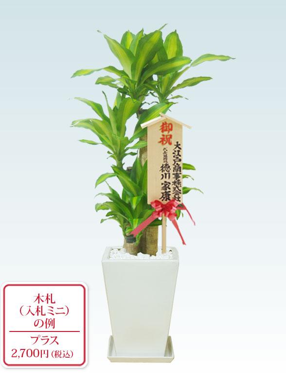 幸福の木、陶器鉢植込み、スクエアタイプ白色  112