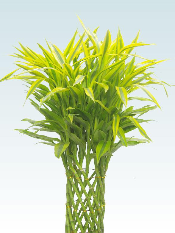 ミリオンバンブー 大鉢Lサイズ 藤かご付・ダークブラウン 2