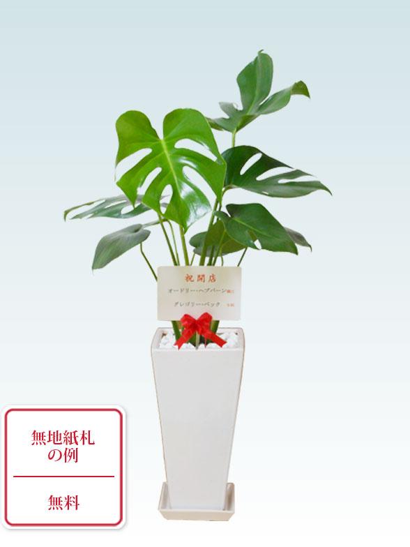 モンステラ(陶器鉢植込み、6号スクエア白色) 9
