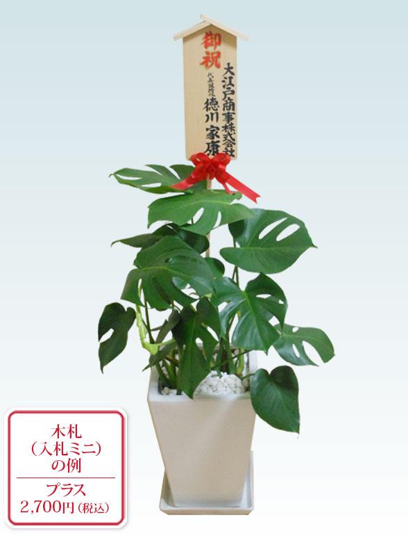 モンステラ(陶器鉢植込み、スクエアタイプ白色)10