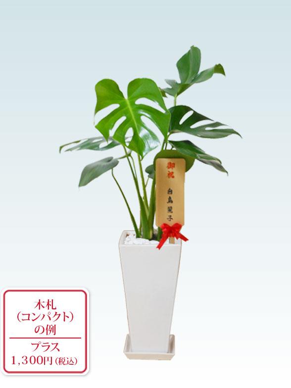 モンステラ(陶器鉢植込み、6号スクエア白色) 10