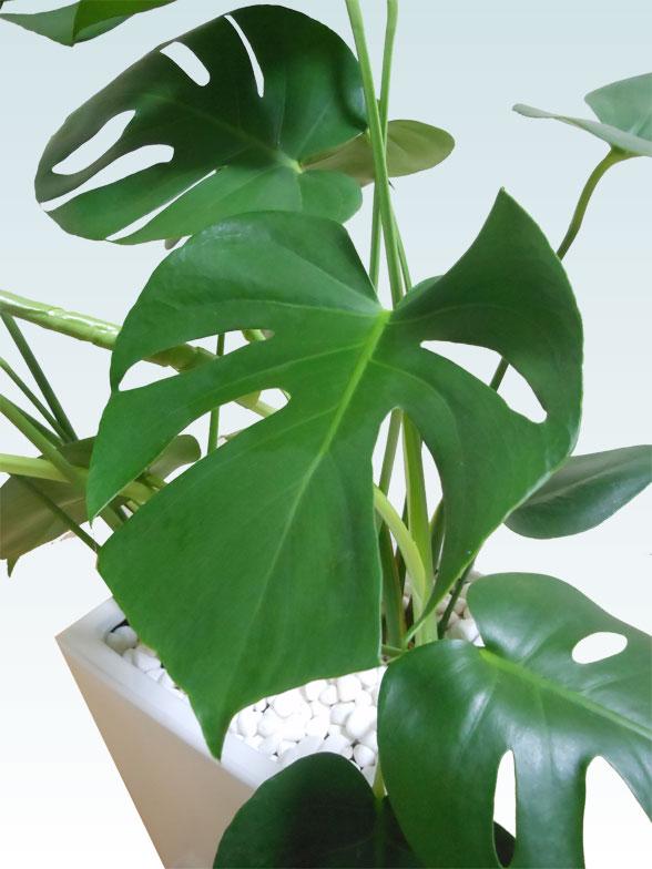 モンステラ(陶器鉢植込み、スクエアタイプ白色)15