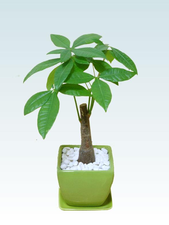 パキラ(陶器鉢植込み、4号スクエア緑色1