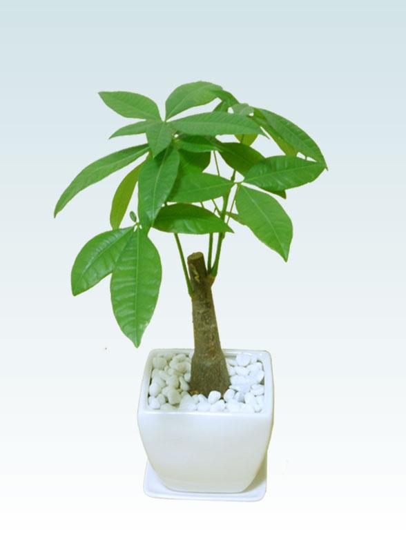 パキラ(陶器鉢植込み、4号スクエア白色1