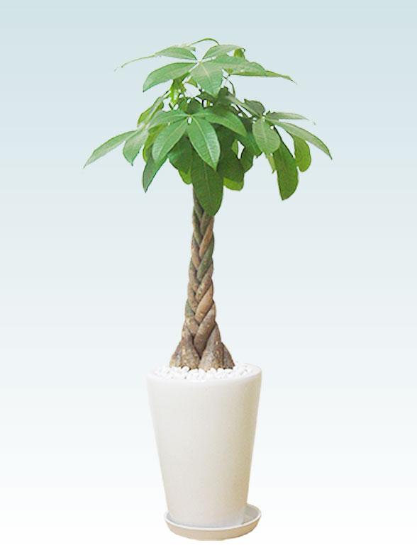パキラ(陶器鉢植込み、ラウンドタイプ白色) 1