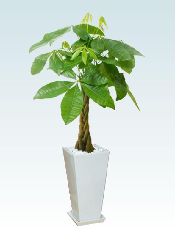 パキラ(陶器鉢植込み、6号スクエア白色) 1