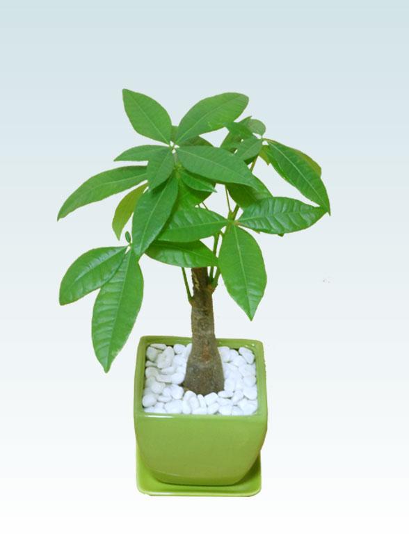 パキラ(陶器鉢植込み、4号スクエア緑色2