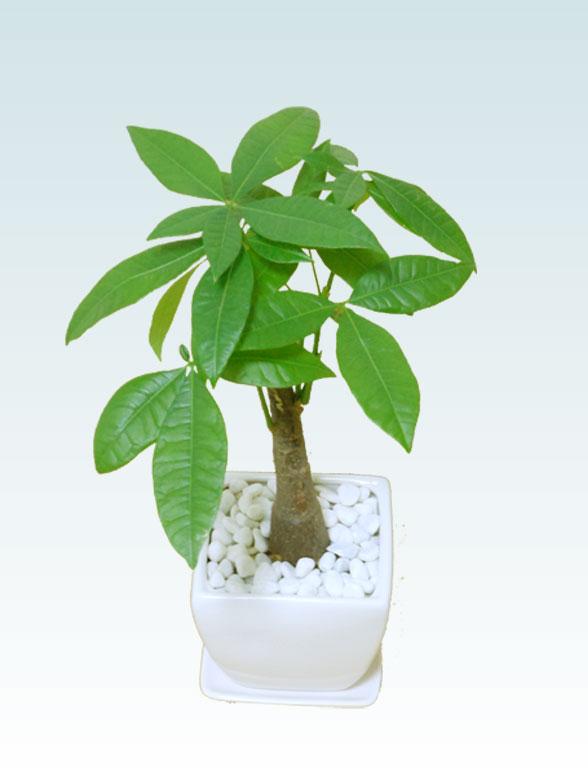 パキラ(陶器鉢植込み、4号スクエア白色2