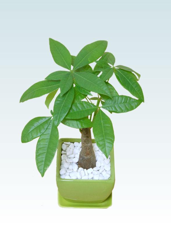 パキラ(陶器鉢植込み、4号スクエア緑色3