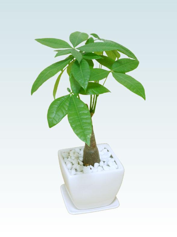 パキラ(陶器鉢植込み、4号スクエア白色3