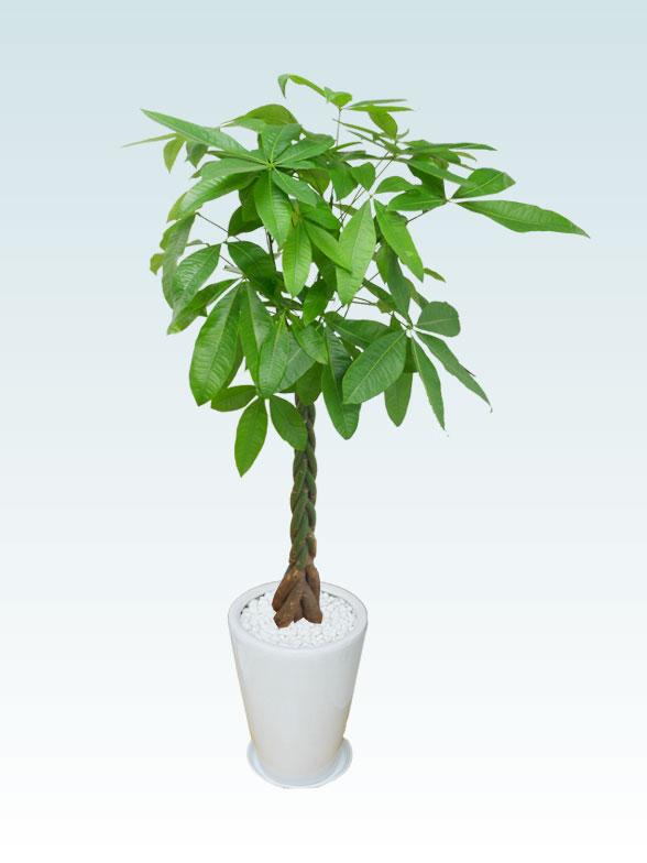 パキラ(陶器鉢植込み、ラウンドタイプ白色) Lサイズ 3