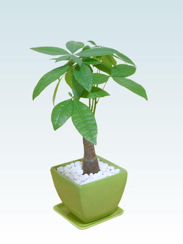 パキラ(陶器鉢植込み、4号スクエア緑色4