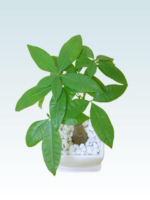 パキラ(陶器鉢植込み、4号スクエア白色4