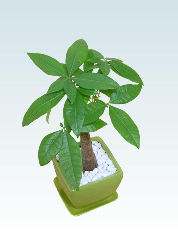 パキラ(陶器鉢植込み、4号スクエア緑色5