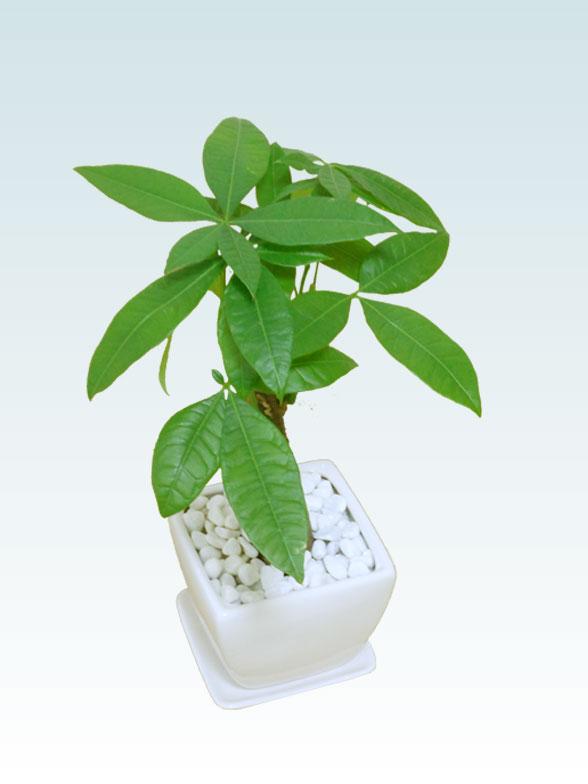 パキラ(陶器鉢植込み、4号スクエア白色5