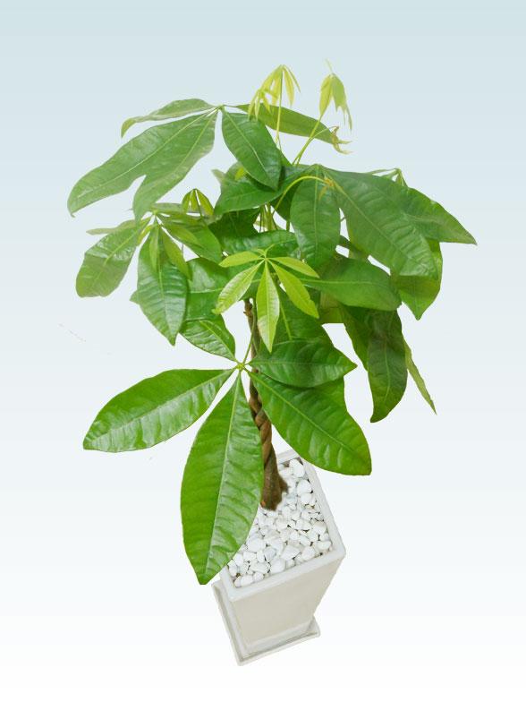 パキラ(陶器鉢植込み、6号スクエア白色) 5